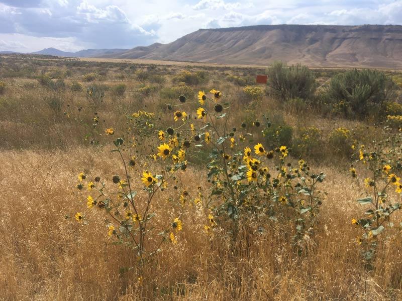 Wildflowers growing along the highways in Idaho