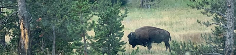 Wild buffalo in Yellowstone National Park