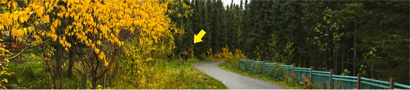 Zoom in to see the bull moose to the left of the bike trail
