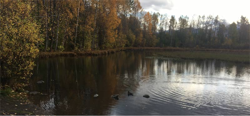 Ducks on Moose Lake, Anchorage, Alaska